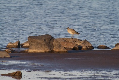The Whimbrel is a rather uncommon migrant along the shores of the Great Lakes [May; 40th Ave West, St. Louis River estuary, Duluth, Minnesota]