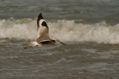 A Willet flies along the Padre Island beach [April; Padre Island, Texas]Rio Grande Valley, Lower Rio Grande Valley, Texas bird