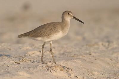 Willet in winter plumage [October; Estero Beach, Fort Meyers, Florida]