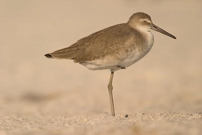 Willets—like other shorebirds—often sleep balanced on one leg [November; Estero Beach, Florida]