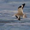 Willet in flight [March; Ventura, California]