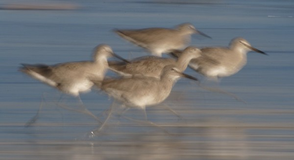 Willets running from the surf  [March; Ventura, California]