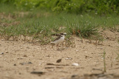 The long heavy bill of the Wilson's Plover is different than that of other plovers. It almost seems as if they might tip forward at any moment [April; Bolivar Flats near Galveston, Texas]
