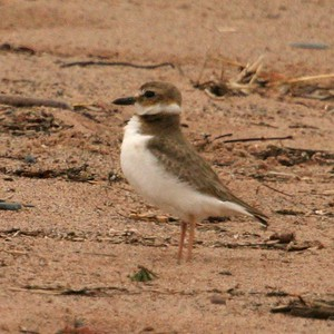 "Far from home; I found this lonely Wilson's Plover on a windy morning on Wisconsin Point. Over 1000 miles from ""home,"" this bird turned out to be a Wisconsin first state record! [May 9th, 2004; Wisconsin Point, Superior, Wisconsin]"
