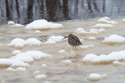 Wilson's Snipe on ice along the Kettle River Carlton County MN -4123