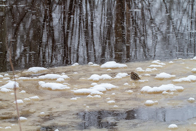 Wilson's Snipe on ice along the Kettle River Carlton County MN -4115