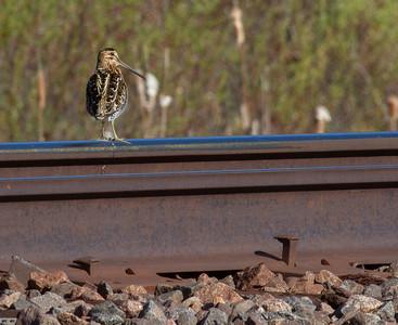 Wilson's Snipe on railroad tracks Warbler Wednesday May 15 2019 FOSZB field trip Sax-Zim Bog MN -0108