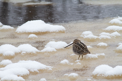 Wilson's Snipe on ice along the Kettle River Carlton County MN -4109
