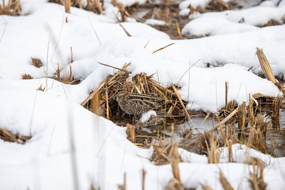 Wilson's Snipe in snow ditch along CR105 near South Superior WI  IMGC7873