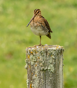 Wilson's Snipe on wood fence post Clearwater County MN-03903