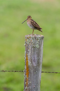 Wilson's Snipe on wood fence post Clearwater County MN-6762
