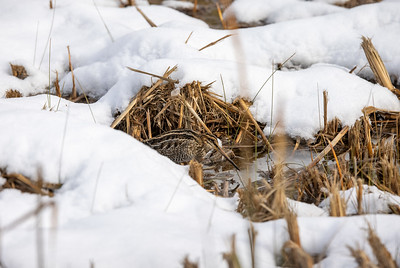 Wilson's Snipe in snow ditch along CR105 near South Superior WI  IMGC7881