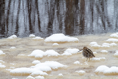 Wilson's Snipe on ice along the Kettle River Carlton County MN -4130