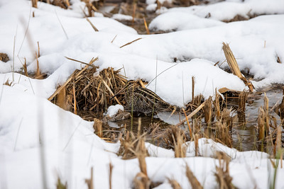 Wilson's Snipe in snow ditch along CR105 near South Superior WI  IMGC7869