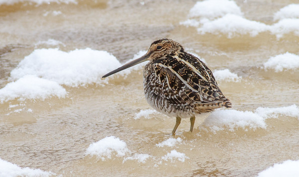 Wilson's Snipe on ice along the Kettle River Carlton County MN -4106