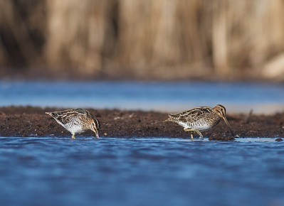 Wilson's Snipe Kimmes-Tobin Wetlands Douglas Co WI IMG_0240