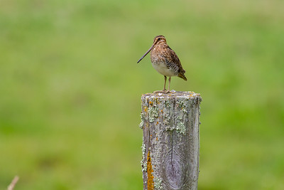 Wilson's Snipe on wood fence post Clearwater County MN-6753