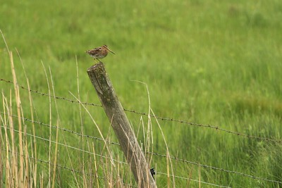 Though often secretive, Wilson's Snipes will occasionally perch on fence posts and call [June; Douglas County, MInnesota]