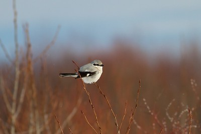 Northern Shrike Cranberry Road lek Sax-Zim Bog MN IMG_3258
