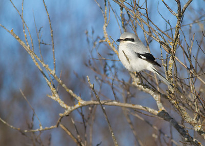 Northern Shrike Stone Lake Road Sax-Zim Bog MN IMG_0019