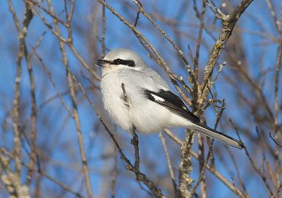 Northern Shrike Stone Lake Road Sax-Zim Bog MN IMG_0032