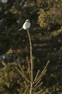 Northern Shrikes prefer to perch at the tiptop of trees. It gives them an advantage when spotting prey; small birds and rodents [March; Duluth, Minnesota] Northern Shrikes prefer to perch at the tiptop of trees. It gives them an advantage when spotting prey; small birds and rodents [March; Duluth, Minnesota]