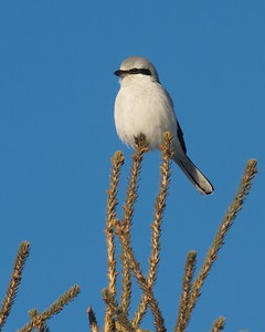 Northern Shrike CR47 Sax-Zim Bog MN IMG_1480