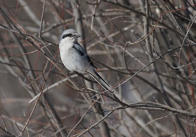 Northern Shrike Stone Lake Road Sax-Zim Bog MN IMG_4989
