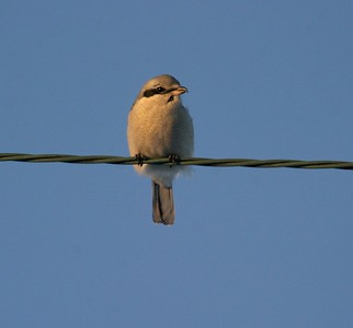 Northern Shrikes hunt for small birds from telephone lines, fenceposts, barbed wire and tree tops [January;  Carlton County, Minnesota]