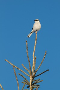 Northern Shrike CR47 Sax-Zim Bog MN IMG_1495