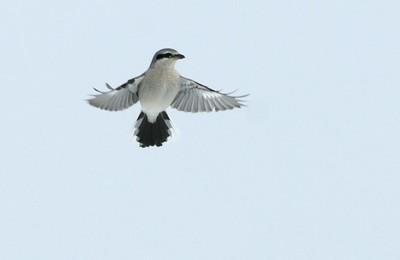 Northern Shrike Sax-Zim Bog_3008263