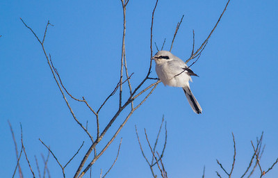 Northern Shrike Stone Lake Road Sax-Zim Bog MN IMG_0004