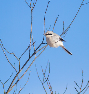 Northern Shrike Stone Lake Road Sax-Zim Bog MN IMG_0003