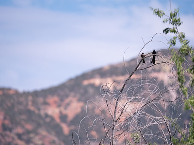 Phainopepla Patagonia-Sonoita Creek Sanctuary TNC southeast Arizona June 6-12 2019-1066835