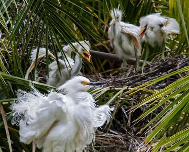 egret nest_U7A5724_DXO