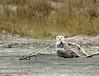 Snowy Owl imm female Little Talbot Is FL (58)