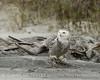 Snowy Owl imm female Little Talbot Is FL (34)