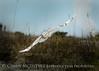 Snowy Owl imm female Little Talbot Is FL (66)