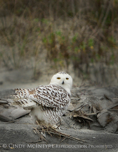 Snowy Owl imm female Little Talbot Is FL (26) 8x10