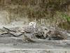 Snowy Owl imm female Little Talbot Is FL (27)