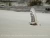 Snowy Owl imm female Little Talbot Is FL (45)