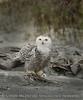 Snowy Owl imm female Little Talbot Is FL (38) 8x10