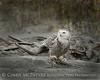 Snowy Owl imm female Little Talbot Is FL (33) 8x10