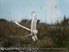 Snowy Owl imm female Little Talbot Is FL (42)