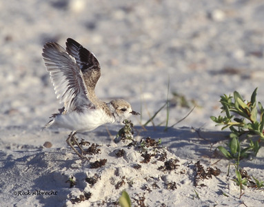02-NK2043 Snowy Plover Chick
