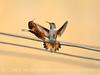 Adult and juvenile rufous hummingbird doing battle, DINO CO (1)