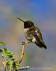 Black-chinned hummingbird male, DINO CO (2)