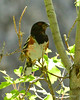 Spotted towhee male, DINO UT (5)
