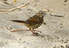 Song Sparrow, DINO CO (1)