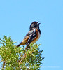 Spotted towhee male singing, DINO UT (1)
